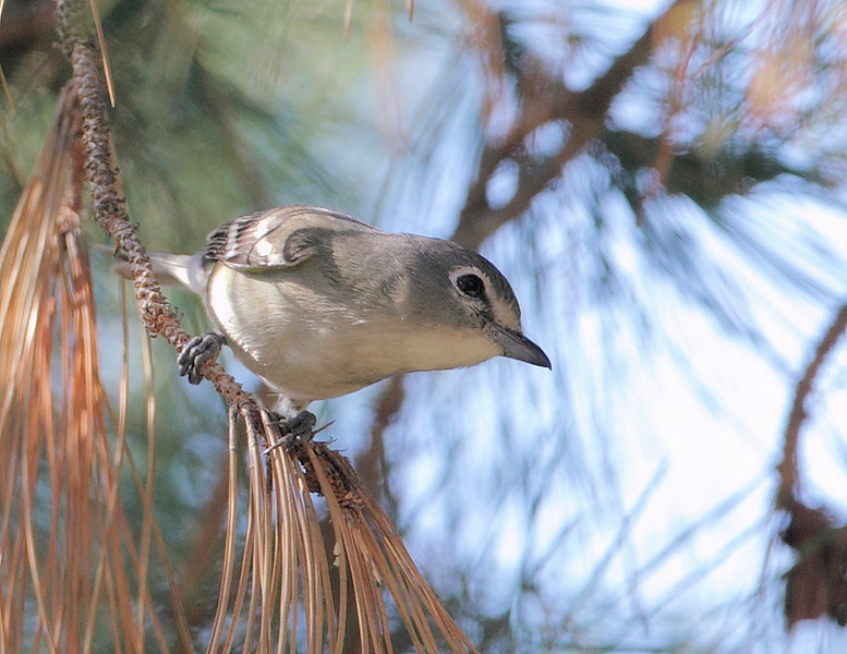 Another look at the Plumbeous Vireo, October 12 2010.