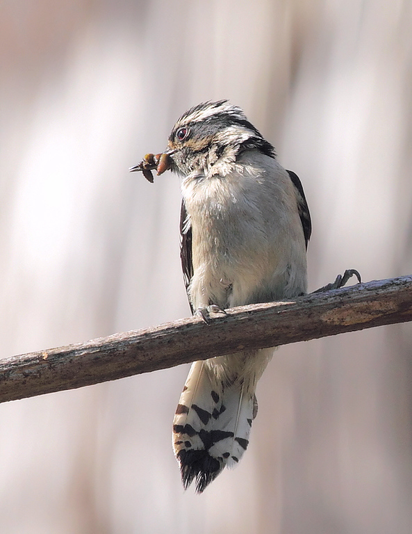 Female Downy Woodpecker going to feed her nestlings in a dead Century plant, May 30 2010.