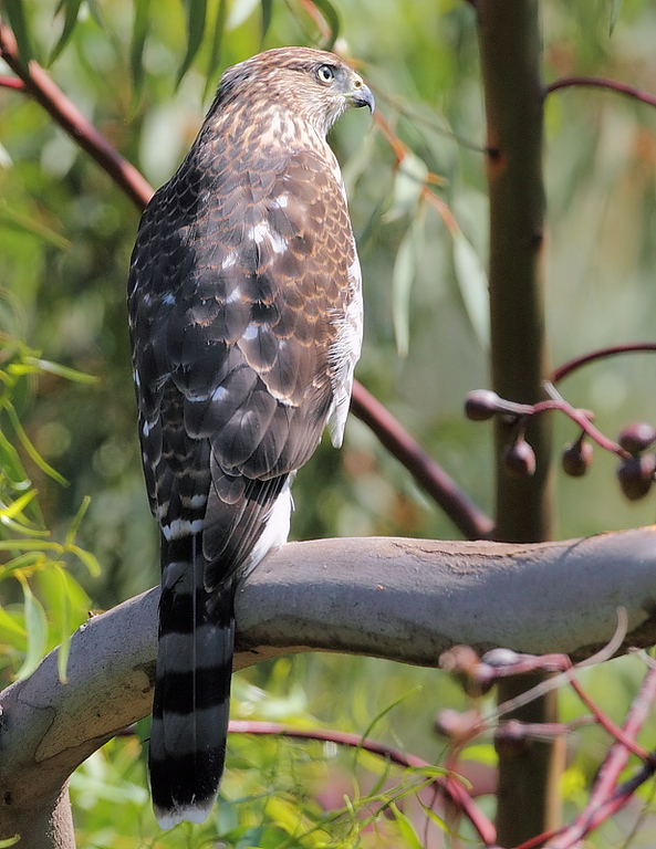 Another look at the juvenile Cooper's Hawk, July 18 2010.