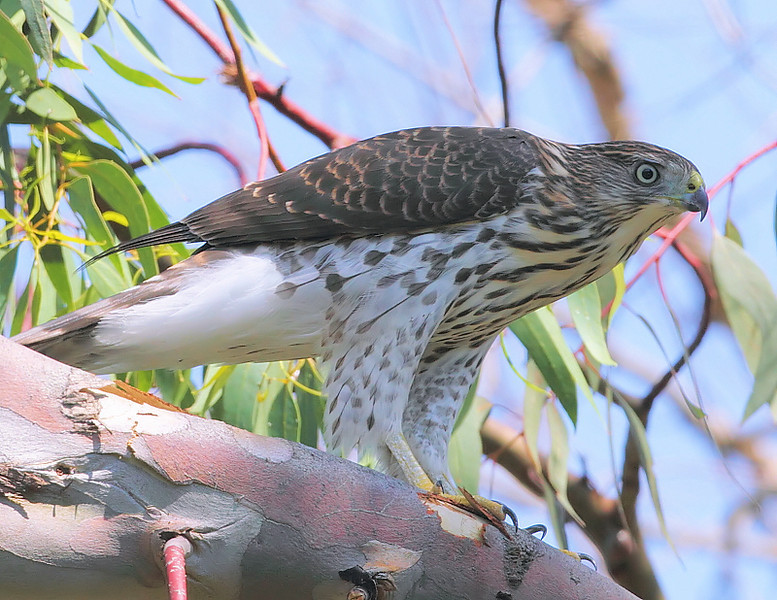 Juvenile Cooper's Hawk, July 18 2010.