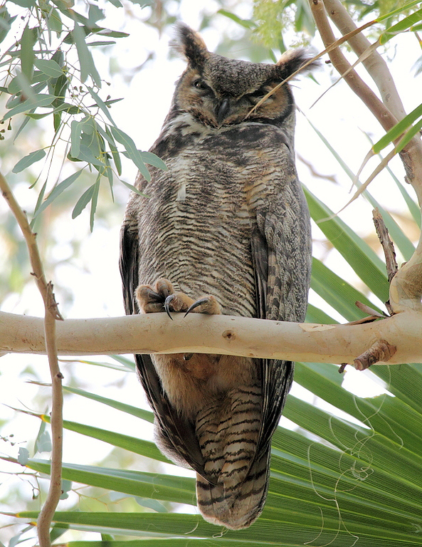 A closeup of the male Great Horned Owl.