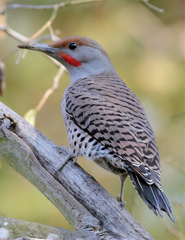 Northern Flicker near the creek, November 2012.