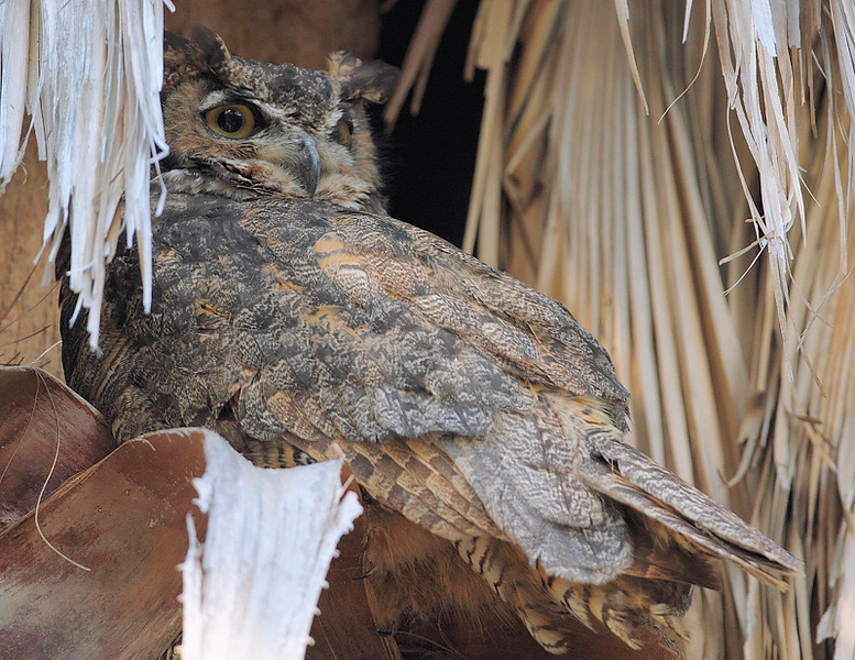 Great Horned Owl, July 15 2010.