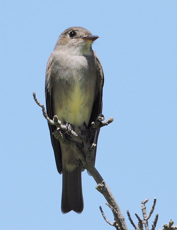 The Western Wood-Pewee of May 30, 2010 gave me many closeup photo-ops with my Canon 7D/500 f4 lens as it flew about going after insects, sometimes perching at eye-level.