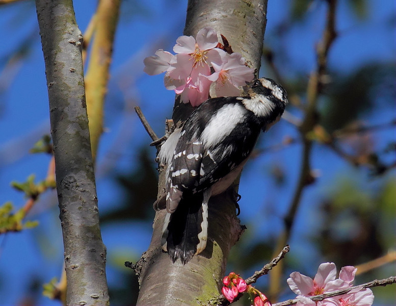 Female Downy Woodpecker at a flowering Japanese Cherry, March 2013.