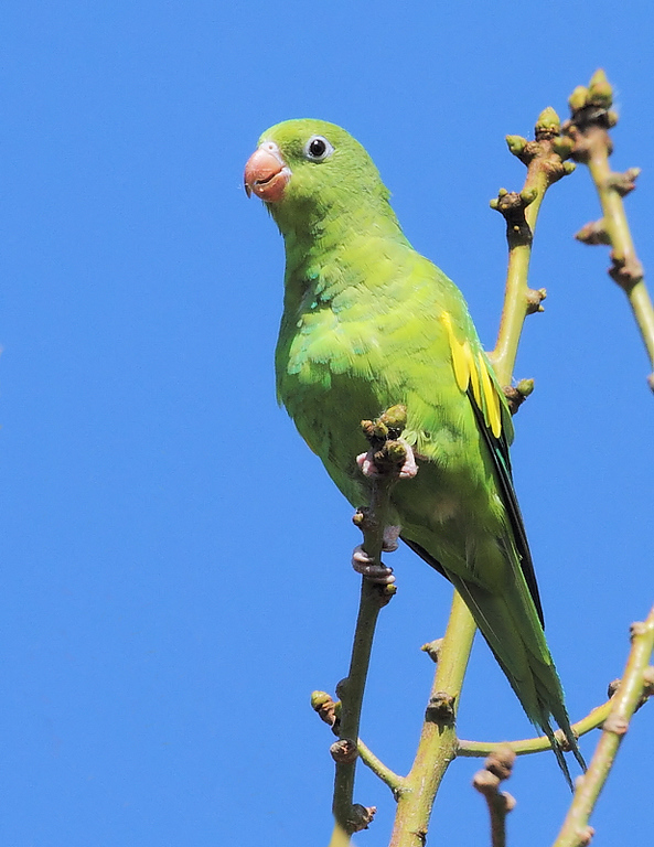 Yellow-chevroned Parakeet, May 8 2010.