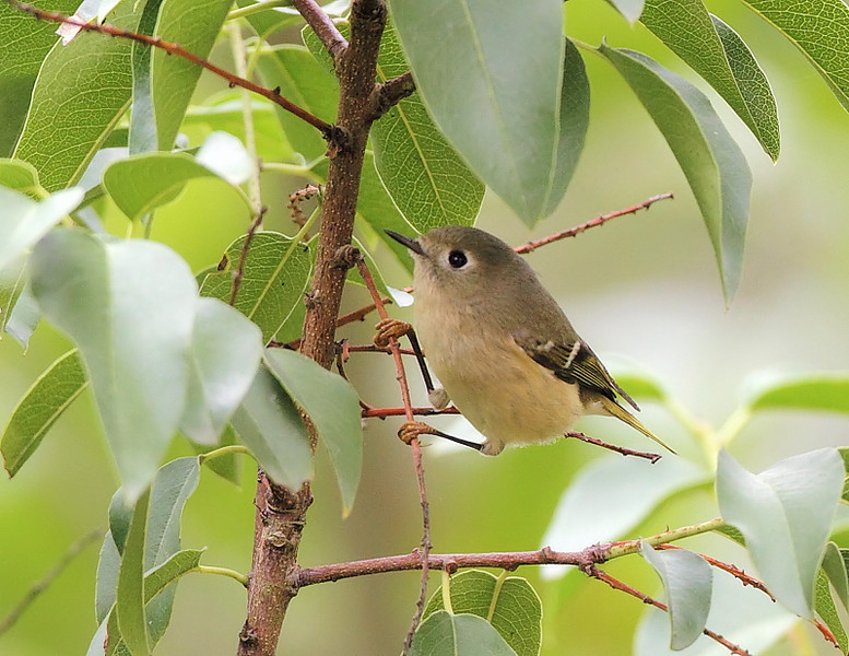 Ruby-crowned Kinglet, October 21 2010.