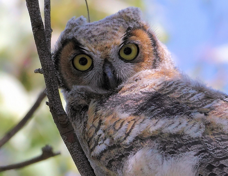 Closeup of a juvenile Great Horned Owl.