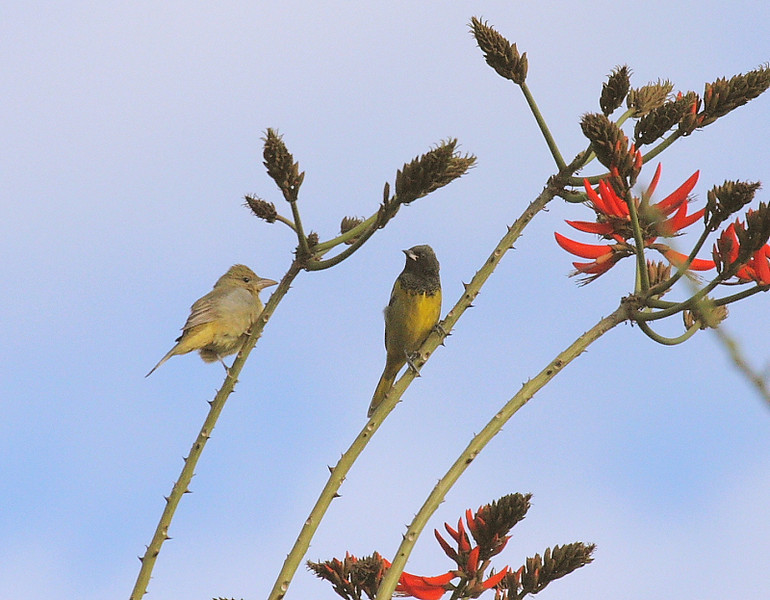 And seen in the same coral tree along with the Scott's Oriole on the right is a female Summer Tanager, January 21 2009.