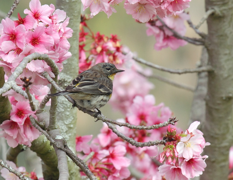 Yellow-rumped Warbler in Flowering Japanese Cherry,  March 16 2013.