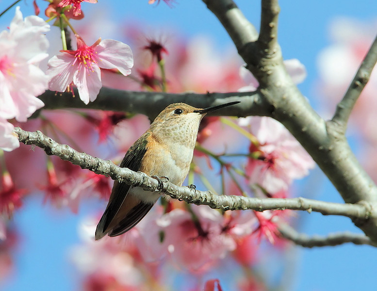 Female Allen's hummingbird in a Flowering Japanese Cherry  tree, March 14 2010.