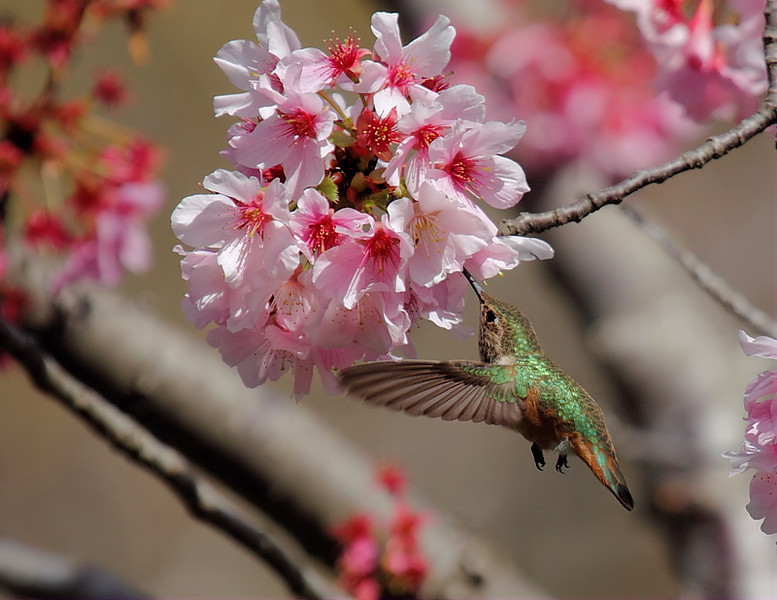 Female Allen's Hummingbird in a blooming Japanese Cherry Blossom Tree, March 9 2013.