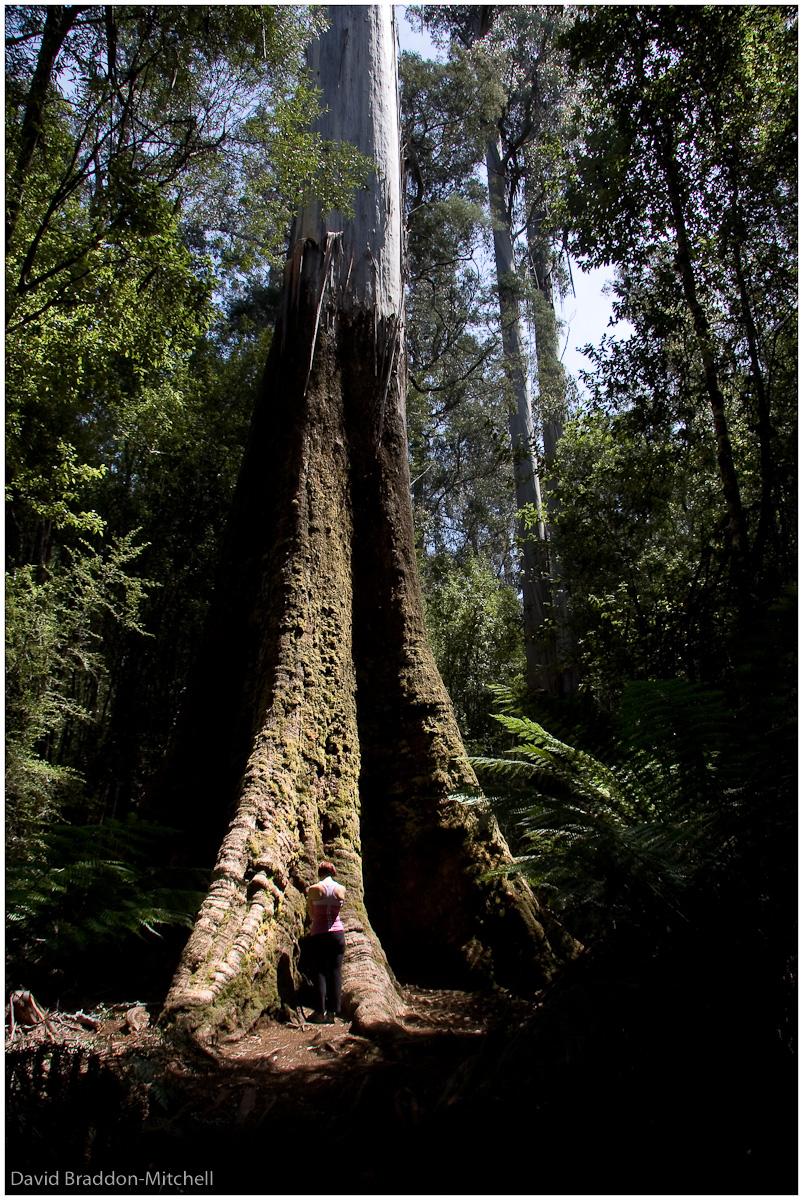 Eucalyptus Regnans 90m, Mt Field.