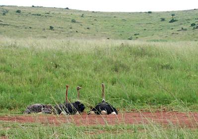 "ostriches.  ""rhino and lion park"", johannesburg"