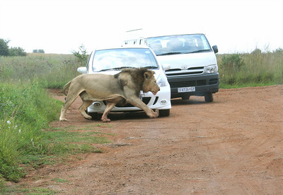 """for obvious reasons, you're not allowed to leave the car in this park.  """"rhino and lion park"""", johannesburg"""
