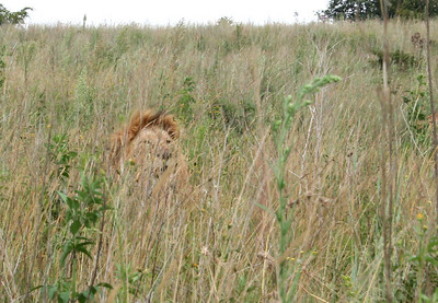 """lion in the grass.  """"rhino and lion park"""", johannesburg"""