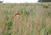 "lion in the grass.  ""rhino and lion park"", johannesburg"