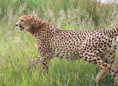 "cheetah.  ""rhino and lion park"", johannesburg"