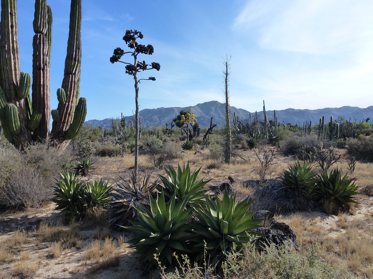 Here is a sample of the cactus in Baja California , Mexico <br /> <br /> This is right at my camp site -at the head end of the Calamajue Wash