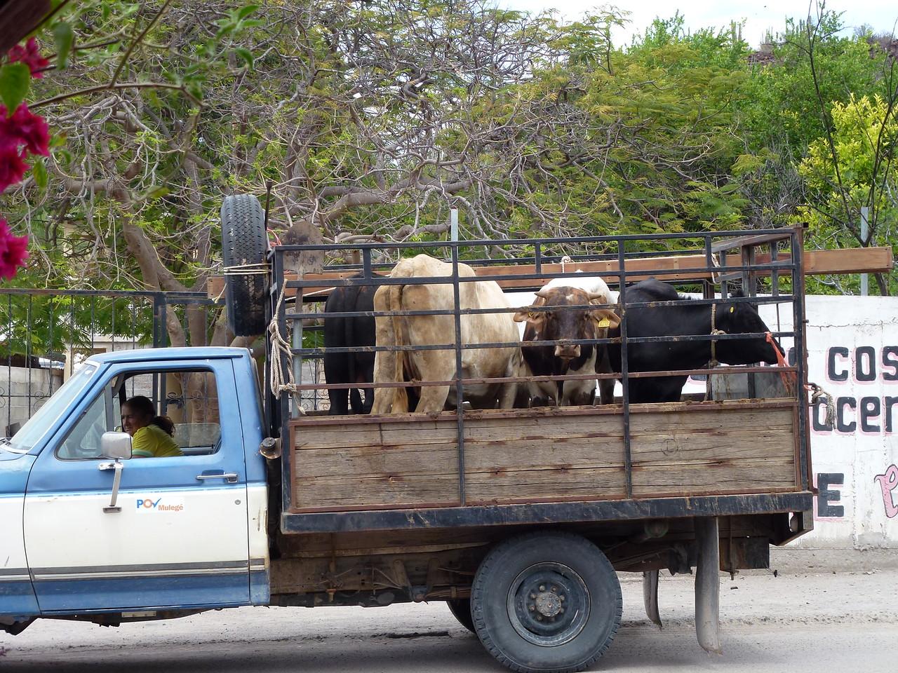 Truckin beef in San Ignacio
