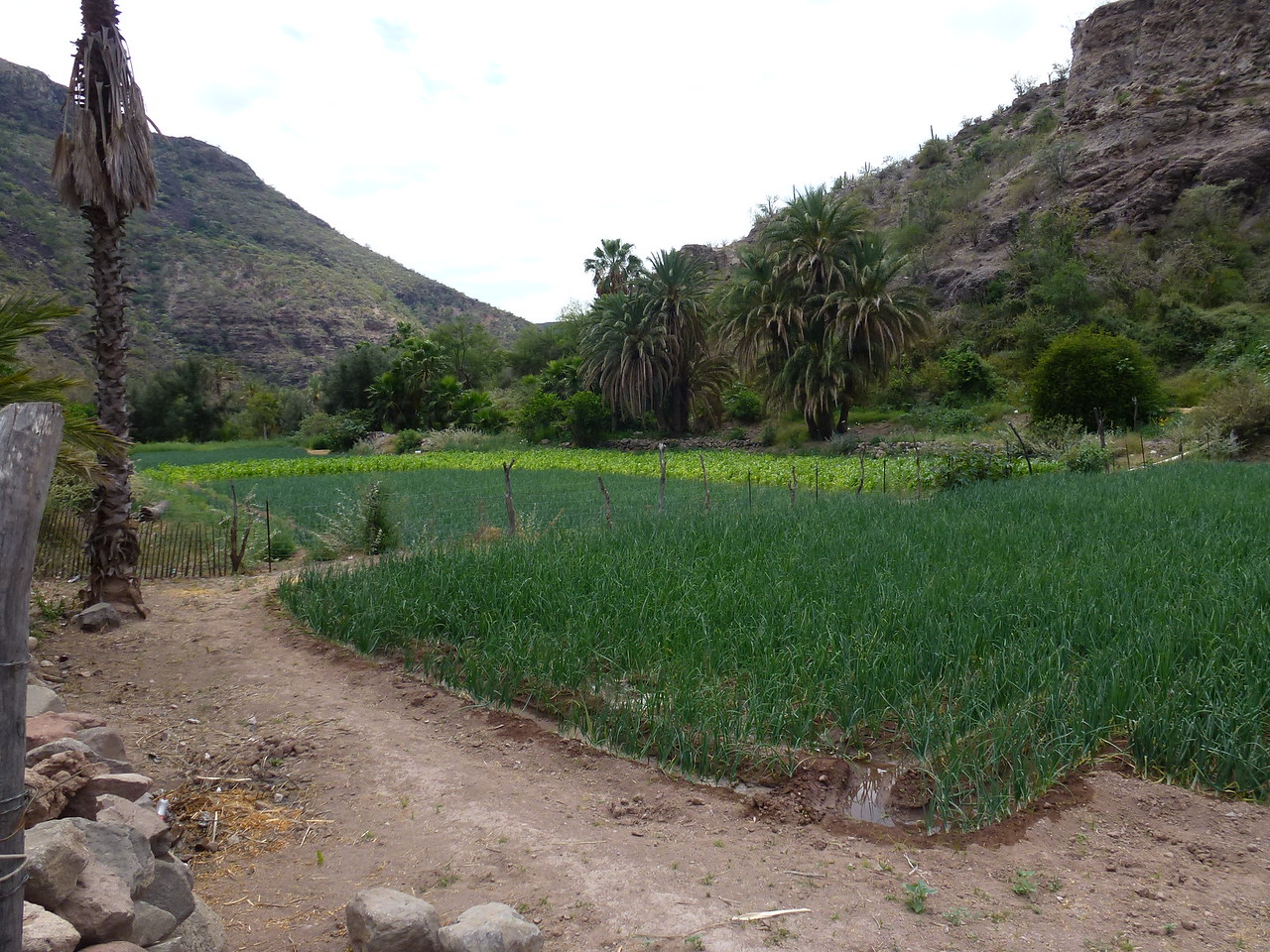 Garden at San Javier <br /> <br /> Corn and Onions ....<br /> <br /> This photo shows about half of the garden