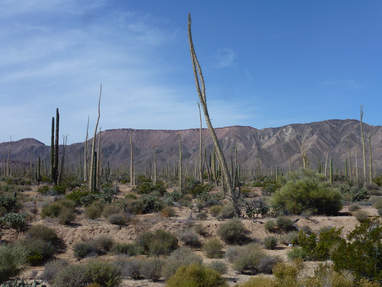 "These tall skinny cactus are called ""Boojum """