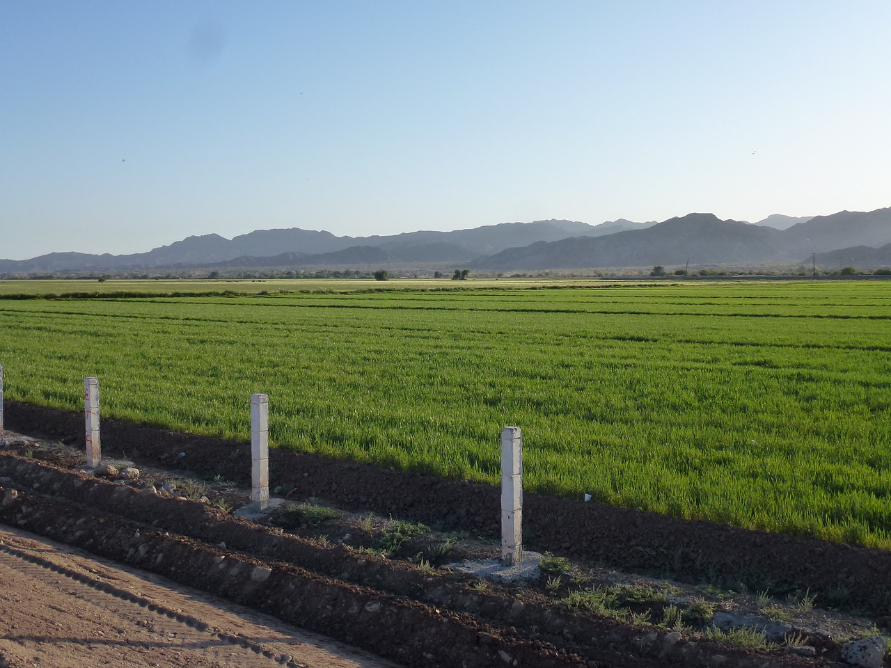 Irrigated wheat field in Baja California -  April 7 ,2015 <br /> <br /> Looked like a real nice crop .