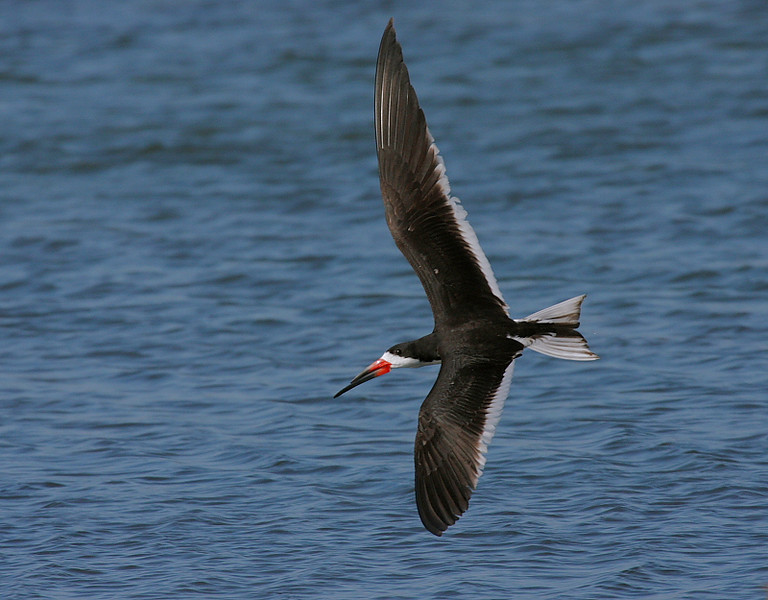 Black Skimmer lit by the evening sun, Bolsa Chica, August 16 2008.