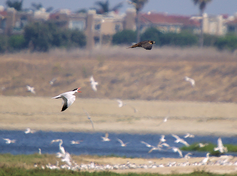 """Get the heck outta here!""  One of the Bolsa Chica Peregrine Falcons is chased away after nailing a Tern in mid-air, taken with the Pentax K10d and Sigma ""Bigma"" 50-500mm lens from the footbridge, July 8 2007."