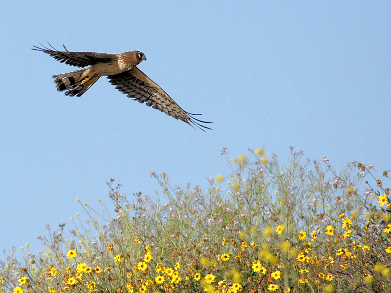 Mrs Northern Harrier and wildflowers on a Bolsa Chica ridge make for a nice springtime composition...March 27, 2008.