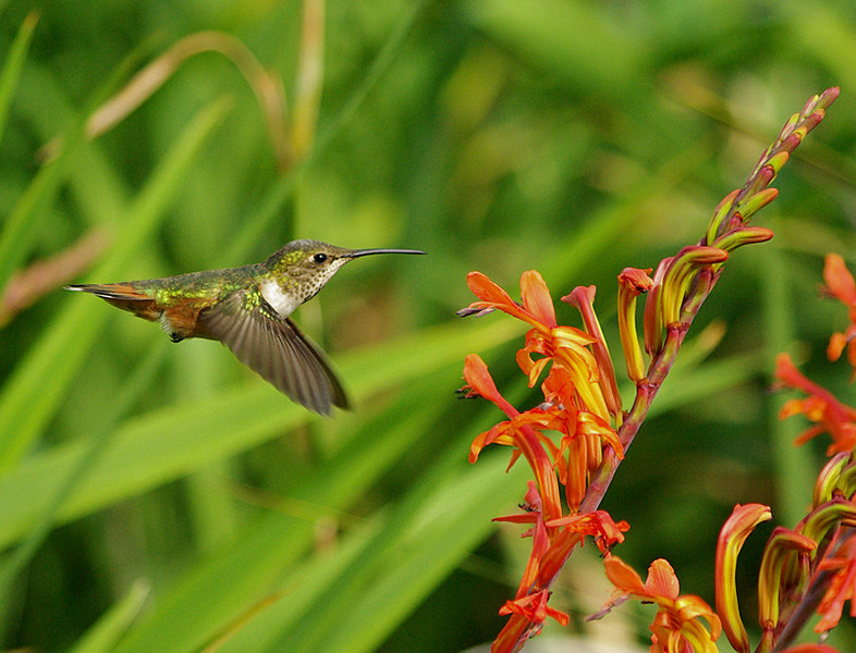 """Decision Time"" -- Allen's hummingbird, Palos Verdes' South Coast Botanic Garden, Feb 18 2007."