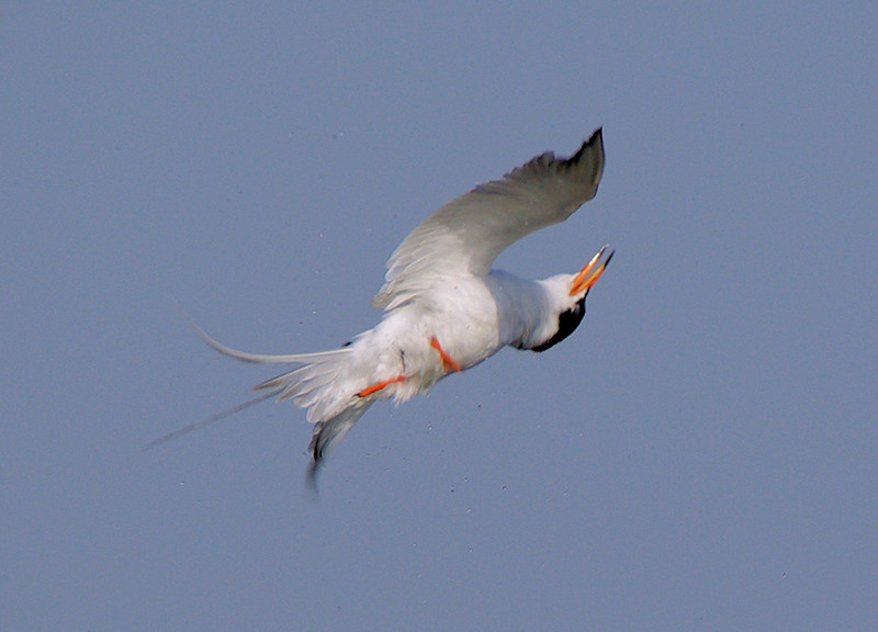 Sometimes you're not aware of what you snap until seeing it at home on the monitor...A Common Tern caught in mid-flip at Bolsa Chica, June 9 2007.