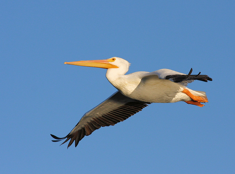 American White Pelican at El Dorado Regional Park, Long Beach, CA, November 2008.