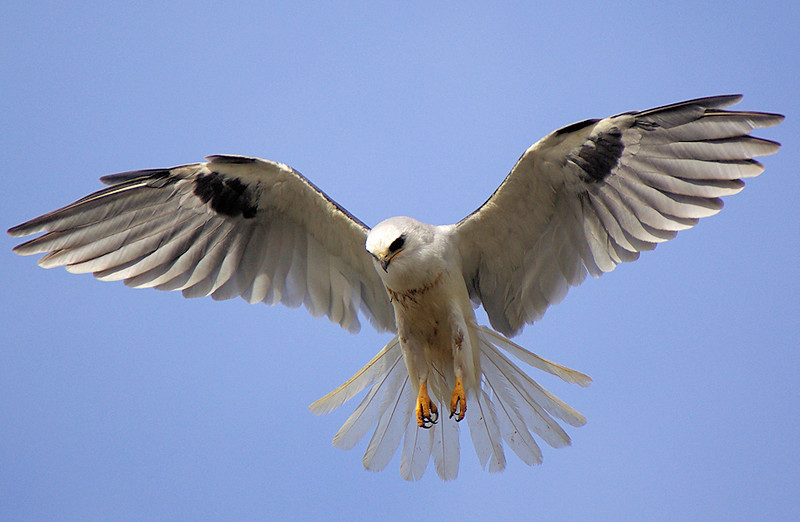 White-tailed Kite hover-hunting near the main parking lot to Bolsa Chica, Nov 29 2007.