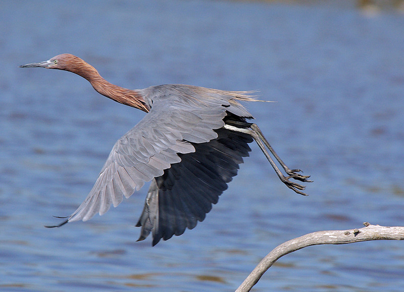 One of Bolsa Chica's Reddish Egrets on takeoff, Oct 1 2007.