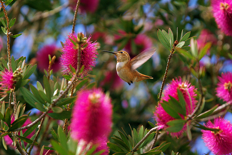 """A Hummingbird's World"", an Allen's in the Purple Bottlebrush, ISO 400 @ 270mm."