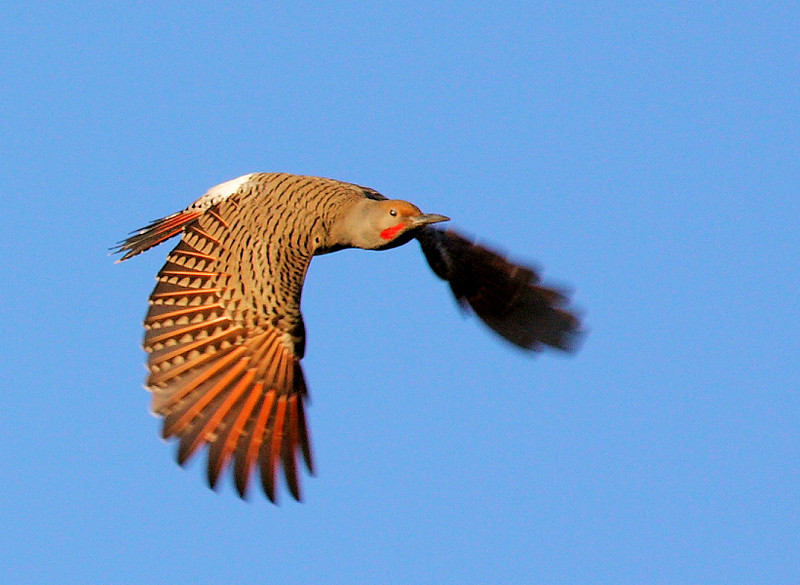 Red-shafted Northern Flicker, Ken Malloy Harbor Regional Park, Jan 31 2009.