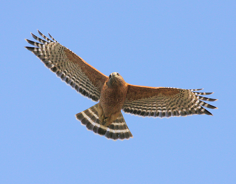 One of the resident Red-Shouldered Hawks at the South Coast Botanic Garden, Palos Verdes, Jan 1 2009.