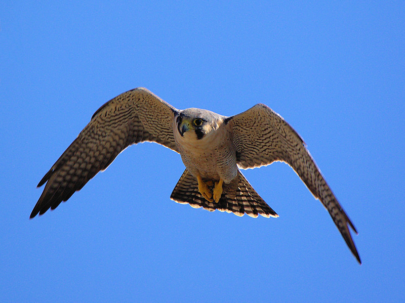 Peregrine Falcon at Bolsa Chica's Raptor Ridge,Oct 1 2007.