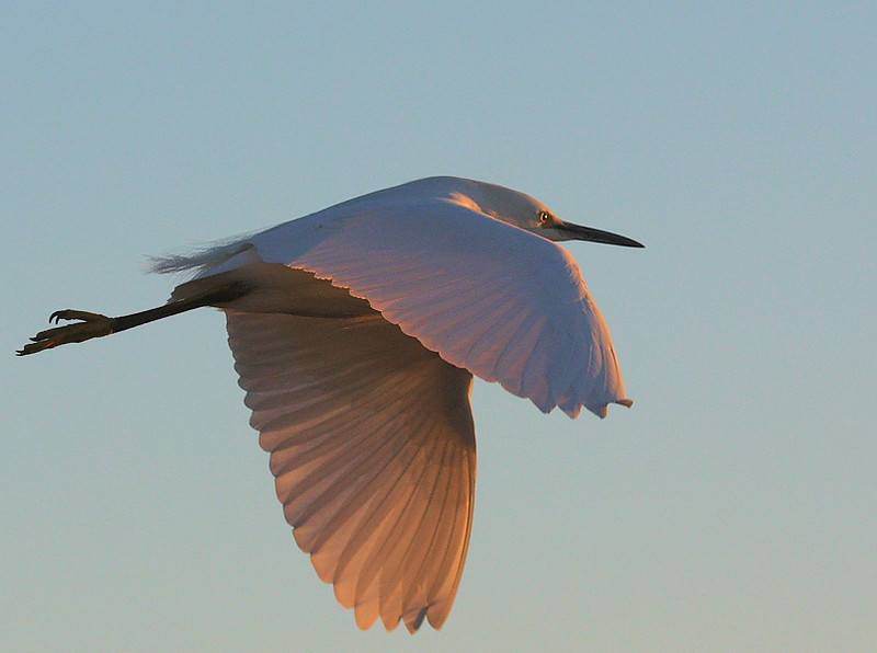 Snowy Egret in early-morning light, from the footbridge at Bolsa Chica Ecological Reserve, Huntington Beach, CA, Feb 2 2009.