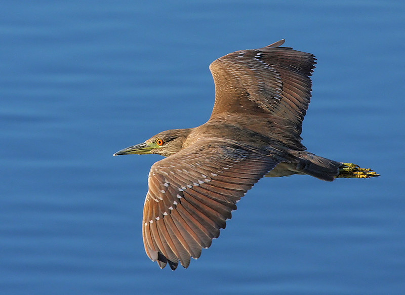 Juvenile Black-Crowned Night Heron, Bolsa Chica, Jan 7 2009.