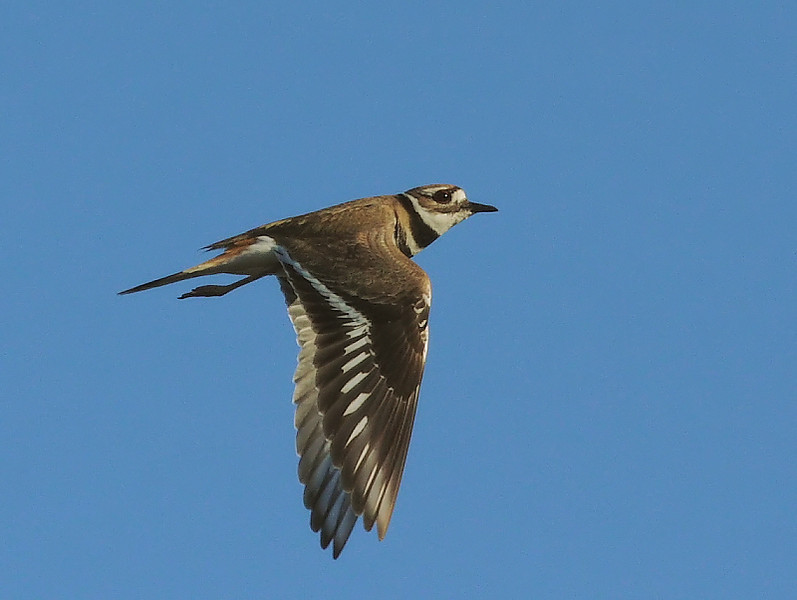 Kildeer on-the-wing, Bolsa Chica, January 14 2009.