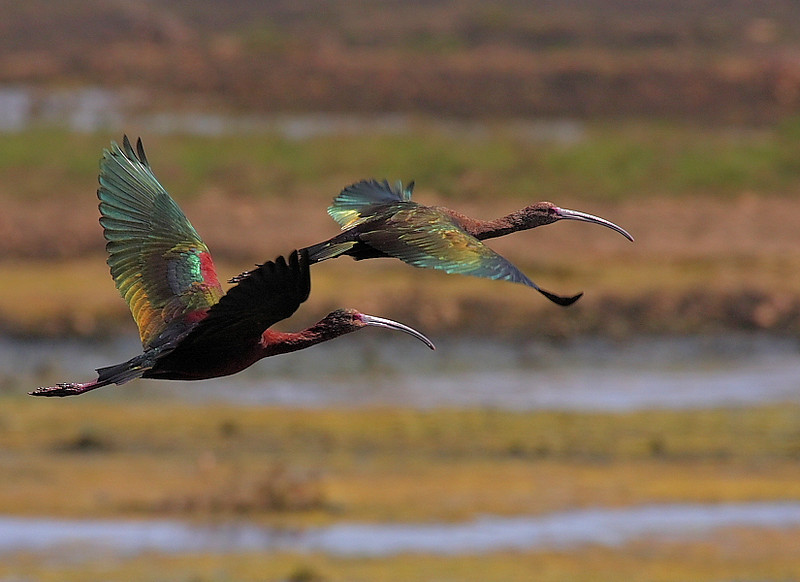 The iridescence of White-Faced Ibis in flight,Bolsa Chica, March 27 2008.