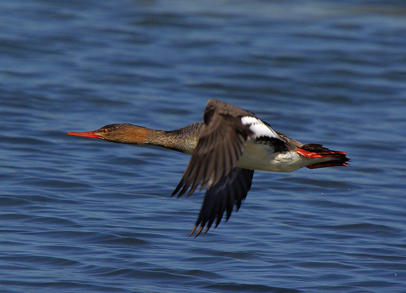 Merganser, Bolsa Chica, March 9 2008.
