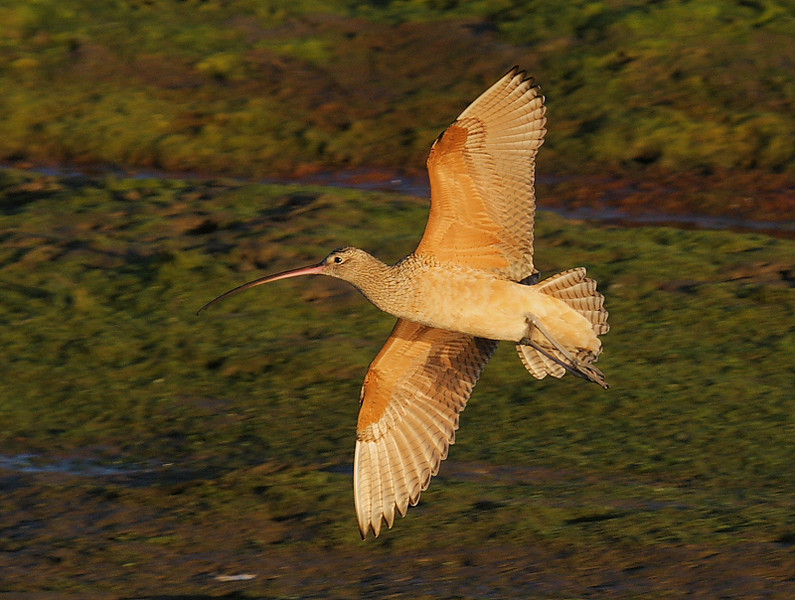 Long-billed Curlew banking for a landing, Bolsa Chica, Jan 14 2009.