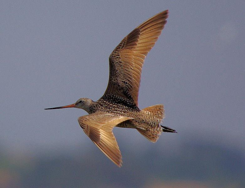 Marbled Godwit in-flight, Bolsa Chica, July 8 2007.