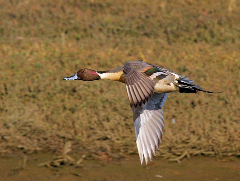 Northern Pintail, Bolsa Chica Ecological Reserve, Feb 2 2009.