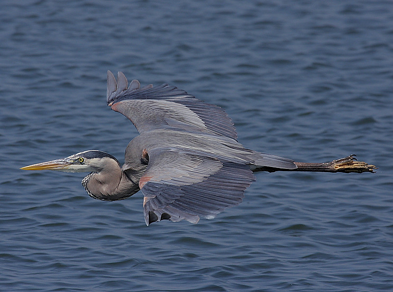 Great Blue Heron flyby, Bolsa Chica, March 26 2008.