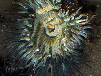 Sea anemone, California Coastline