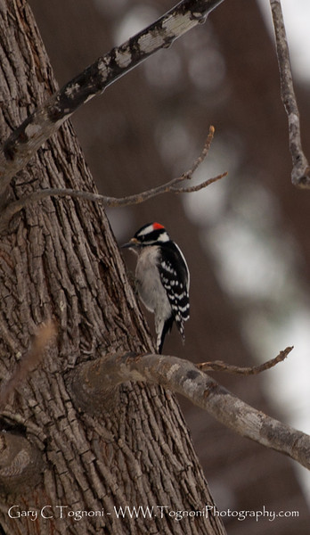 A Downy Woodpecker pays a visit to the back yard.